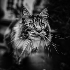 Birding (Mark Littlejohn) Tags: cat nikon whiskers mainecoon reggie d800 24mmf14
