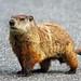 Groundhog Champion