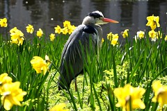 Heron in the Daffodils ii (A-Lister Photography) Tags: uk sunlight lake bird london heron nature water weather river season countryside spring wildlife daffodils greyheron adamlister nikond5100 alisterphotography