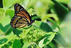 Viceroy - Vice-roy - Mariposa virrey - Limenitis archippus (elgalopino) Tags: nikon papillon mariposa buterfly viceroy limenitis archippus virrey d3s elgalopino afsnikkor80400mmvr
