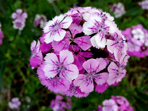 flowers white flower petals purple southcarolina lavender sweetwilliam dianthus anthers caryophyllaceae dianthusbarbatus pickenscounty
