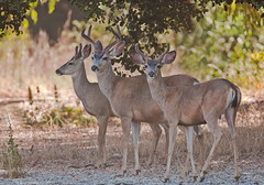 The three amigos (Photosuze) Tags: nature animals three wildlife deer antlers males santamonicamountains muledeer mammals juvenile bucks youngsters blacktaileddeer kinggilletteranch