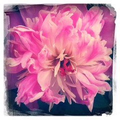 Day 170 - Peony in Pink (Sharon's Shotz) Tags: pink flower noflash peony day170 neighboursyard day170365 hipstamatic dreamcanvasfilm 3652013 tejaslens 365the2013edition 19jun13