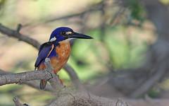 Azure kingfisher (Alcedo azurea) (crijnfotin) Tags: park bird river mary azure australia national kingfisher maryrivernationalpark ijsvogel alcedoazurea ceyxazureus