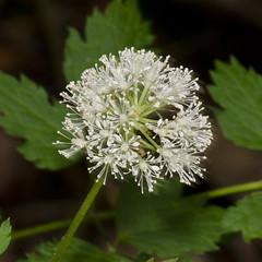 Actaea rubra (Red Baneberry) -- Ranunculaceae (Michael Huft) Tags: ranunculaceae doorcounty baneberry redbaneberry actaearubra actaea