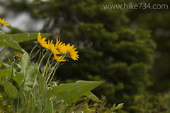 "Arrowleaf Balsamroot • <a style=""font-size:0.8em;"" href=""http://www.flickr.com/photos/63501323@N07/9132289292/"" target=""_blank"">View on Flickr</a>"