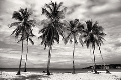 Palm Trees (Paul Turgeon) Tags: life travel summer blackandwhite landscape solitude dominicanrepublic fineart culture palmtrees simplicity contemplation tranquilscene zenlike higey paulturgeon