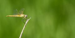 La reine du marais (Eric Penet) Tags: animal jaune marais insecte libellule camargue sauvage