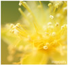 054 (imagepoetry) Tags: summer flower macro nature beauty yellow garden naturelover 70mm a65 imagepoetry sonyalpha ipoetry