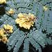 Yellow flame (Peltophorum pterocarpum)