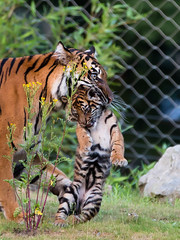 Sumatran tiger Jarum carying one of her cubs (John van Beers) Tags: zoo cub tiger arnhem thenetherlands lara sumatrantiger tijger janine burgerszoo dierentuin gelderland jarum welp sumatraansetijger flickrbigcats
