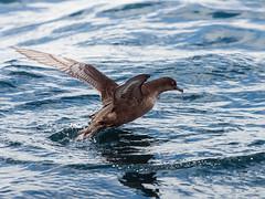 Short-tailed Shearwater (Ardenna tenuirostris) (David Cook Wildlife Photography) Tags: australia nsw eden tasmansea shorttailedshearwater puffinustenuirostris kookr davidcookwildlifephotography ardennatenuirostris sonyslta77v 2013davidcookwildlifephotographyallrightsreserved sonysal300f28g2