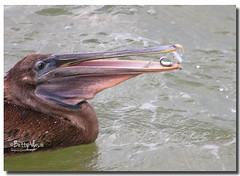 Brown Pelican Fishing (Betty Vlasiu) Tags: brown bird nature fishing wildlife pelican occidentalis pelecanus