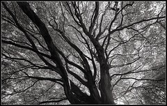 Below a Beech (ShinyPhotoScotland) Tags: trees blackandwhite panorama abstract art nature leaves lines silhouette composite composition manipulated landscape happy photography scotland flora warm emotion affection unitedkingdom many space branches dramatic places equipment filter numbers zen lensflare innocence duotone dreamy serene complexity moment awe striking oddity simple toned pure platinum contrasts portpatrick beech filaments airy jumble lightanddark elegance dumfriesandgalloway gbr hugin dunskey digikam timelessness tonemapped skyearth shapeandform rawconversion simplecomplex calmstill digitalred meaningemptiness darktable photivo digitallowpass