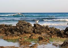Guardando qua e l (Art Gamila) Tags: life sea wild beach animals canon island mare fuerteventura canary spiaggia animali gabbiani wildanimals scogli corralejo volare canarie isole