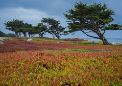 Cypress Hill (Lorin Warner) Tags: california montereybay pch highway1 pacificgrove cypresstrees pacificcoasthighway