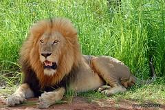 DSC_8533 (Arno Meintjes Wildlife) Tags: africa southafrica wildlife lion safari bigcat predator big5 pantheraleo arnomeintjes