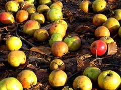 November Apples (SophieScarlette) Tags: november autumn red orange lund green fall yellow sophie fallen apples stadsparken scarlette
