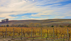 Wine Panorama (YT Blue) Tags: autumn sky vineyard vines hill carneros