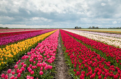 tulip garden (Madhurendra shruti) Tags: travel pink red sky cloud plant flower holland nature netherlands field yellow rural garden outside outdoors spring colorful view blossom many farm horizon seasonal scenic culture nobody nopeople row farmland line tulip tradition cloudscape multicolor cultivated keulenhof