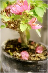 Bougainvillea Bonsai (AmeliaPhotoAme) Tags: macro nature reflections small mini bougainvillea artsy bonsai bloom