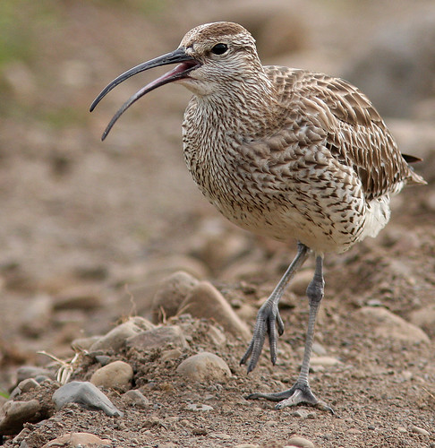 I guess this friend of mine is eating crabs on the shore of Afrika - Whimbrel - Spói
