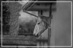 Sheltered (cmwild31) Tags: ireland bw horse head stable equine laois