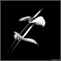 Anthurium. Bronica-S2, Agfapan 100, exp: 1975. (Andrey Maltsev) Tags: old flowers bw 120 6x6 film canon iso100 scan 120film bronica scanned 1975 100 anthurium expiredfilm bwfilm middleformat 8800 blackandwhitefilm bronicas2 agfapan100 agfapan whiteanthurium canon8800f