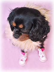 Dolly (Amy Lilley) Tags: pink dog pet cute king sweet charles converse kawaii spaniel cavalier dolly girlie