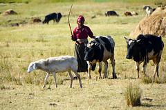 La vie  la campagne Ethiopia_3550 (ichauvel) Tags: voyage africa travel woman field cows femme champs goats ethiopia campagne moutons vaches afrique eastafrica chevres ethiopie troupeau countrie sceneoflife afriquedelest herbegrass scnedevie