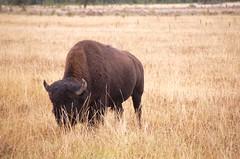 DSC_7972 (BillGalbreathPhotos) Tags: buffalo yellowstone wyoming tetons bison grandteton grandtetonnationalpark 2013 billgalbreath