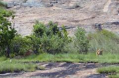 DSC_6759 (Arno Meintjes Wildlife) Tags: africa wallpaper southafrica bush wildlife lion safari getty predator krugerpark pantheraleo nture arnomeintjes