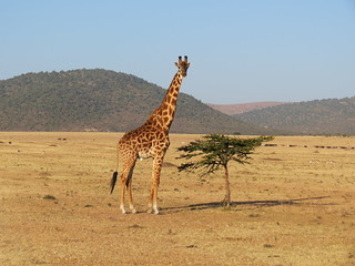 Giraffe optical illusion