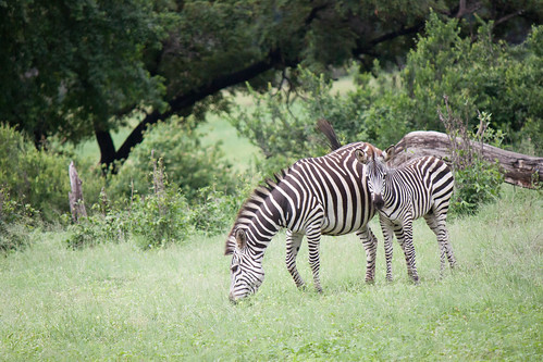 "Momma and Baby Zebra <a style=""margin-left:10px; font-size:0.8em;"" href=""http://www.flickr.com/photos/117397217@N06/12491267614/"" target=""_blank"">@flickr</a>"