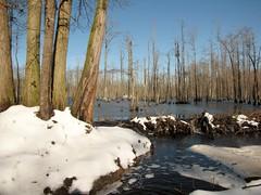 Beaver Dam in Winter (Gerry Dincher) Tags: robesoncounty winter snow polarvortex northcarolina beaverpond beaverdam beaver swamp cumberlandcounty johnmcmillanroad greenspringsroad day gerrydincher coldcampcreek