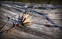 Skeletal Remains (Lin_Woods) Tags: wood forest skeleton log deadwood skeletalremains
