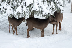 Fallow deer (jmhuttun) Tags: snow animals finland zoo nikon europe lapland lappi d800 ranua ranuazoo