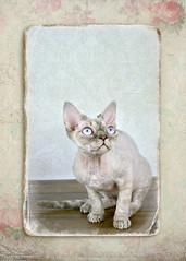 Little Devon Rex (Sandie Aroha Photography) Tags: blue pet cat vintage eyes kitten feline framed devon rex shabby
