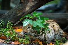 hiding (Cloudtail the Snow Leopard) Tags: zoo karlsruhe tier animal mammal säugetier katze cat luchs karpartenluchs lynx young jung cub kitten peter male cloudtailthesnowleopard