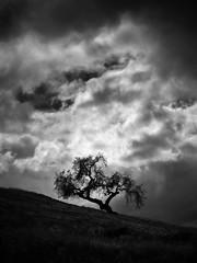 Tree Elder (StefanB) Tags: california sky bw storm tree monochrome clouds flickr outdoor sanjose elder portfolio geotag treescape 2014 em5 45200mm