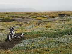 SAM_2898 (lluviaymar) Tags: parque pinguinos del puerto lluvia punta arenas nacional frio torres paine natales magallanicos