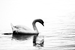 Metal (Japo García) Tags: cisne contraste blanco y negro lago reflejo metal dos pato animal ave bello japogarcia fotografía