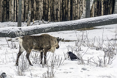 How's it going? (Portraits of Nature) Tags: wild life caribou raven snow animals trees