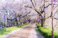_DSC4456 (sayo-tsu) Tags: sakura saitama cherryblossom gongendopark sattecity 桜 お花見 権現堂 埼玉県
