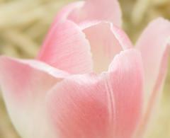 Happy Tulip (crystalprocknow) Tags: