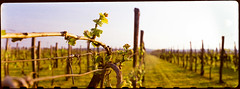 Sunset (gsantar) Tags: medium format pentax 67 film 24x66 wines grapes sunset color