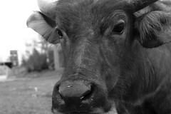 Inquisitive Buffalo 2 (Bob Hawley) Tags: nikond7100 nikon2870mmf3545afd asia pingtung taiwan outdoors xuhai animals bubalusbubalis domestic farming agriculture blackandwhite monochrome closeup faces