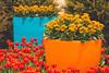 Colourful Spring (A Great Capture) Tags: fleur flor plant plants flower bloom blossom vibrant colorful cheerful vivid bright eos digital dslr lens canon 70d natur nature naturaleza natura naturephotography naturethroughthelens colours colors colourful flora agreatcapture agc wwwagreatcapturecom adjm ash2276 ashleylduffus ald mobilejay jamesmitchell toronto on ontario canada canadian photographer northamerica spring springtime printemps orange blue yellow red green