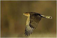 cooper's hawk (Christian Hunold) Tags: coopershawk hawk accipiter birdofprey raptor bird bokeh rundschwanzsperber johnheinznwr philadelphia christianhunold