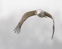 _Q5A9242 (coloradochris) Tags: cranetrust migration nebraska northplattte river sandhillcranes spring bif